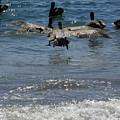 A Pelican In-flight At Playa Manzanillo by James Connor