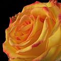 A Perfect Rose #2 by Ajit Pillai