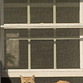 A Pet Cat Resting In A Screened Window by Charles Kogod