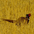 A Pheasant Looking For A Mate by Jeff Swan