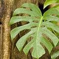 A Philodendron Grows On The Side by Tim Laman