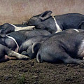 A Pile Of Pampered Piglets by Endre Balogh