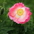 A Pink Poppy Portrait. by Usha Peddamatham