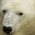 A Polar Bear At The Henry Doorly Zoo by Joel Sartore