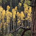 A Ponderosa Pine Tree Among Aspen Trees by Bill Hatcher