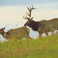 A Portrait Of A Large Bull Elk Following A Cow,rutting Season. by Rusty R Smith