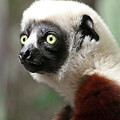 A Portrait Of A Sifaka Primate, A Large Lemur by Derrick Neill