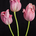 A Portrait Of Three Pink Tulips by James BO Insogna
