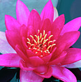 A Red And Yellow Water Lily Flower by Derrick Neill