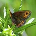 A Red Butterfly Perching  by Jeff Swan