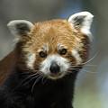A Red Panda Ailurus Fulgens At Zoo by Joel Sartore