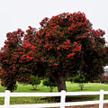 A Red Pin Under A Red Tree At Morro Bay Golf Course by Barbara Snyder