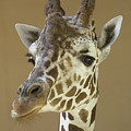 A Reticulated Giraffe Makes A Slanted by Joel Sartore