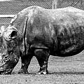 A Rhinoceros by Amitabh Dayal