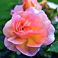 A Rose Is A Rose by Silva Wischeropp