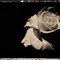 A Rose Is But A Rose  by Scott D Van Osdol