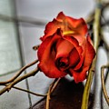 A Rose On Bamboo by Diana Mary Sharpton