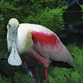 A Roseate Spoonbill Along The Gulf by Joel Sartore