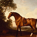 A Saddled Bay Hunter by Celestial Images
