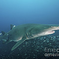 A Sand Tiger Shark Above A School by Brent Barnes