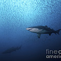 A Sand Tiger Shark And School Of Cigar by Brent Barnes