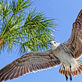A Seagull Flyby by HH Photography of Florida