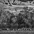 A Sedge Of Sandhill Cranes by Priscilla Burgers