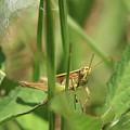 A Shy Grasshopper by Olga Hamilton