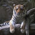 A Siberian Tiger At Omahas Henry Doorly by Joel Sartore