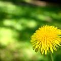 A Single Dandelion by Mark Platt