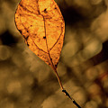 A Single Leaf In The Late Sun by Douglas Barnett