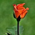 A Single Rose by Diana Mary Sharpton