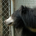A Sloth Bear Melursus Ursinusat by Joel Sartore