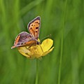 A Small Copper Butterfly (lycaena by John Edwards