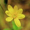 A Soft Yellow Flower  by Jeff Swan