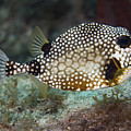A Spotted Trunkfish, Key Largo, Florida by Terry Moore