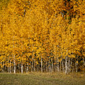 A Stand Of Aspen by Albert Seger