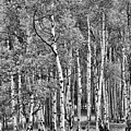 A Stand Of Aspen Trees In Black And White by Larry Jost