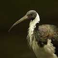 A Straw-necked Ibis Threskiornis by Joel Sartore
