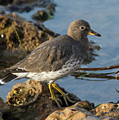 A Surfbird At The Tidepools by Bruce Frye