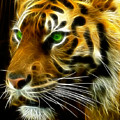 A Tiger's Stare by Ricky Barnard