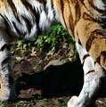 A Tigers Stride by Karol Livote