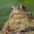 A Toad Appears To Be Frowning He Sits by Joel Sartore