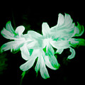 A Touch Of Green On The Lilies by Debra Lynch