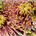 A Touch Of Yellow On Pink Mums by Dora Sofia Caputo Photographic Design and Fine Art