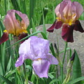 A Trios Of Irises by Rose Dellinger