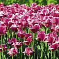 A Tulip Arrangement by Levin Rodriguez