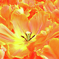 A Tulip Fully Open by Martin Bowra
