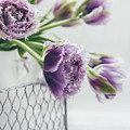 A Tulip Moment by Kim Hojnacki