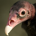 A Turkey Vulture At The Henry Doorly by Joel Sartore